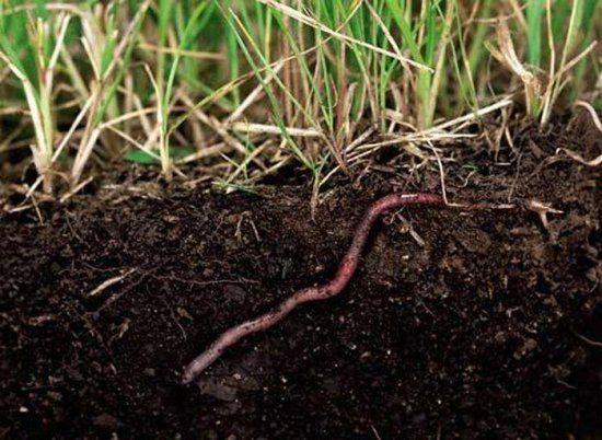 Как в домашних условиях развести дождевых червей