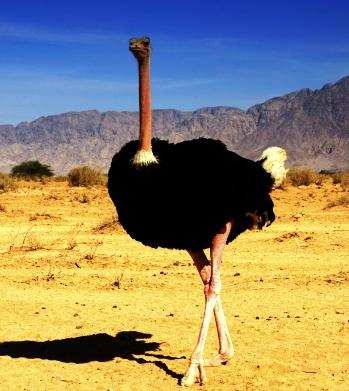 Сколько мяса в страусе