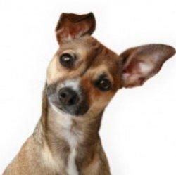 Почему собаки наклоняют голову