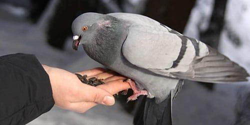 Держать голубя во сне