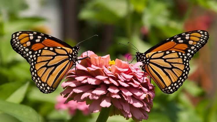 К чему приснились бабочки