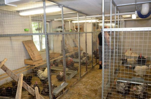 Куриные фермы в домашних условиях