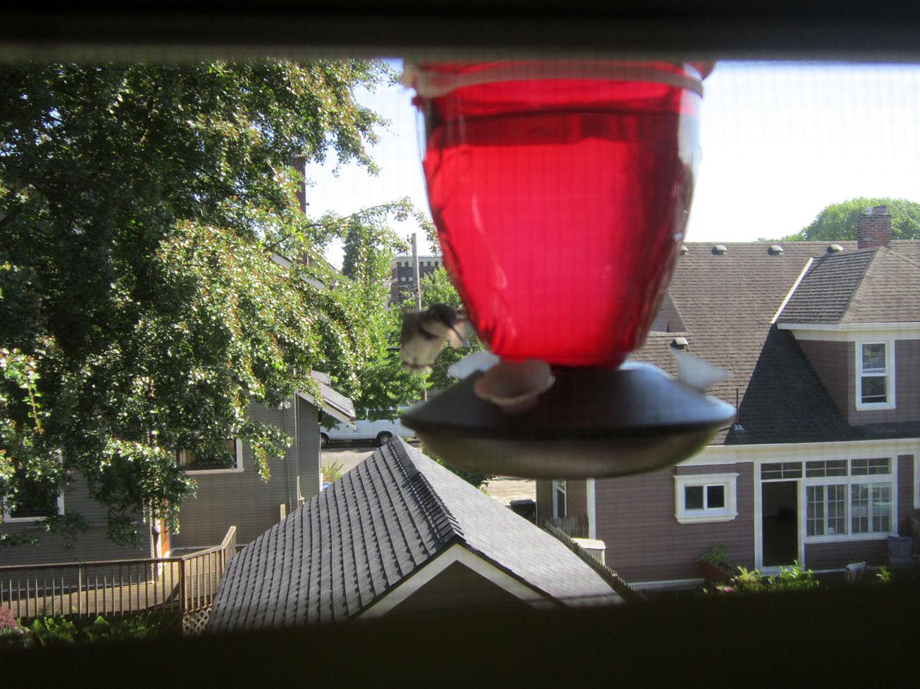 hummingbird-female