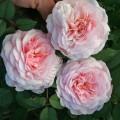 Роза джеймс фото и описание