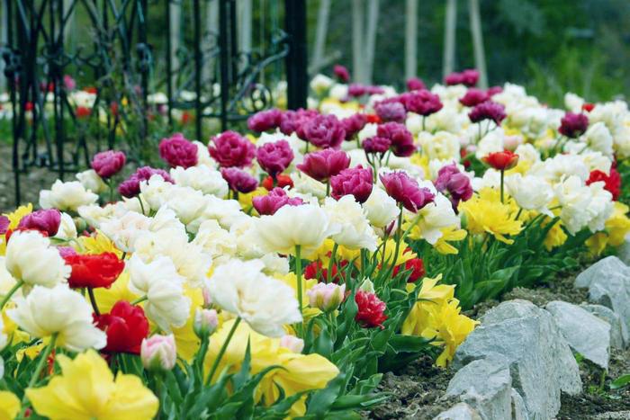 Посадить луковицы тюльпанов осенью