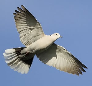 Eurasian Collard-Dove
