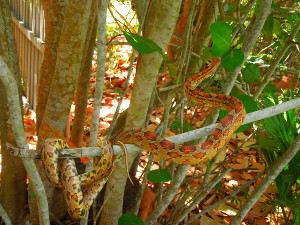 Red Rat Snake/Corn Snake