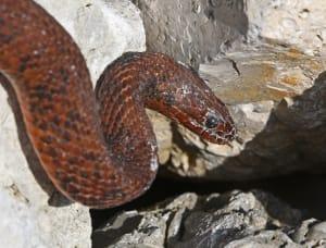 Mangrove Salt Marsh Water Snake