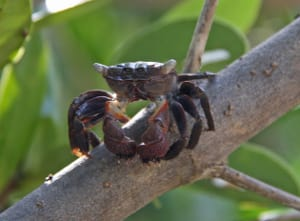 Mangrove Tree Crab
