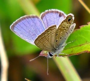 Blue Ceraunus Butterfly