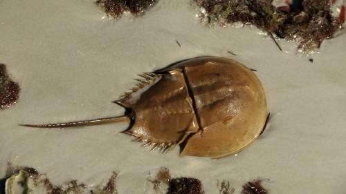 horseshoe-crabs-free-program