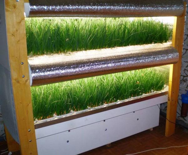 Как выращивать зеленый лук в теплице