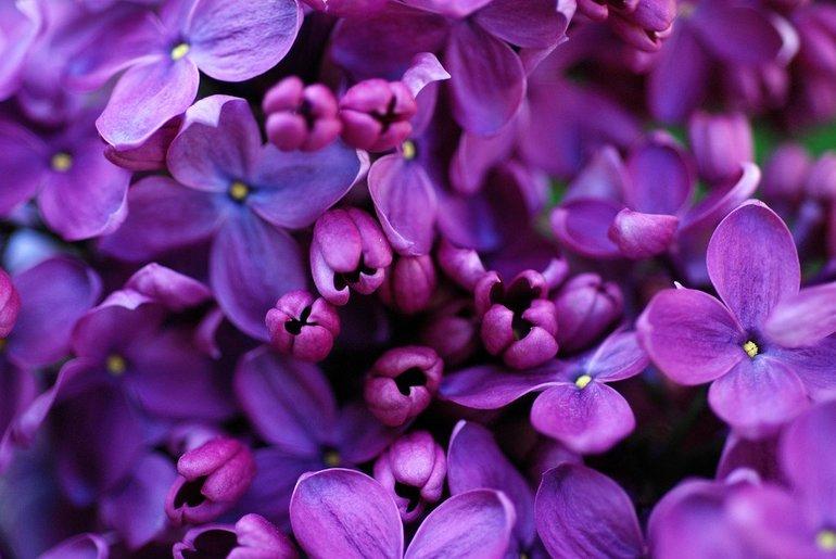 Фиолетовая сирень во сне