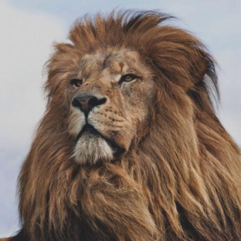 Сонник укусил лев за руку