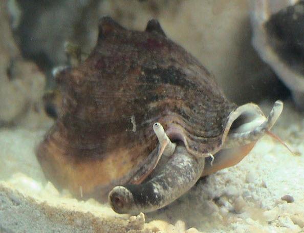 Conch snails reef aquarium