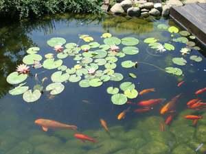 Как в прудах разводить рыбу в