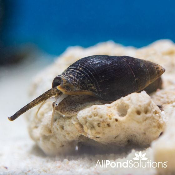 Marine snails for sale uk