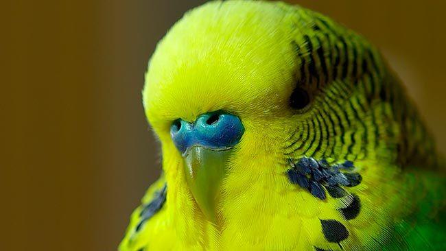 Восковица самца волнистого попугая