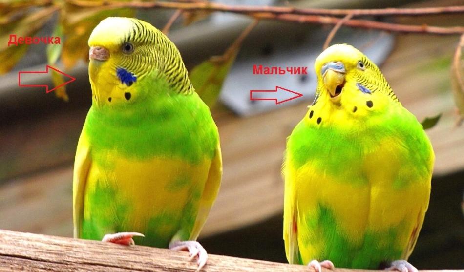 Мальчик и девочка волнистого попугая