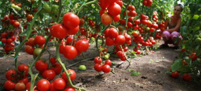 Выращивание томатов в теплице бизнес