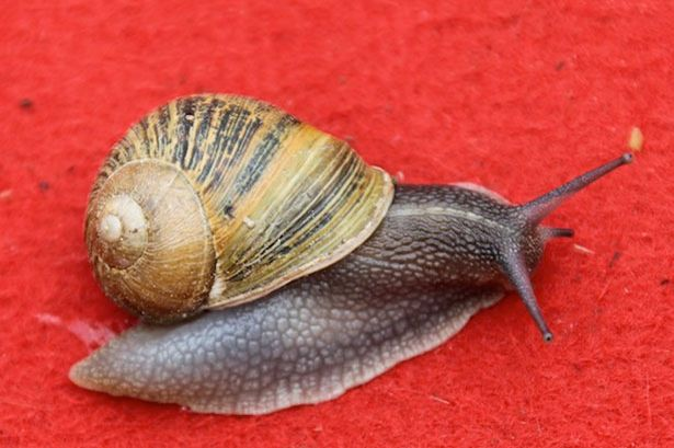 How long do garden snails live for