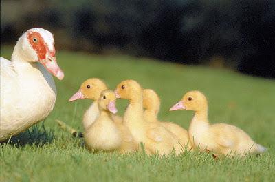 Сколько дней растет утка на мясо