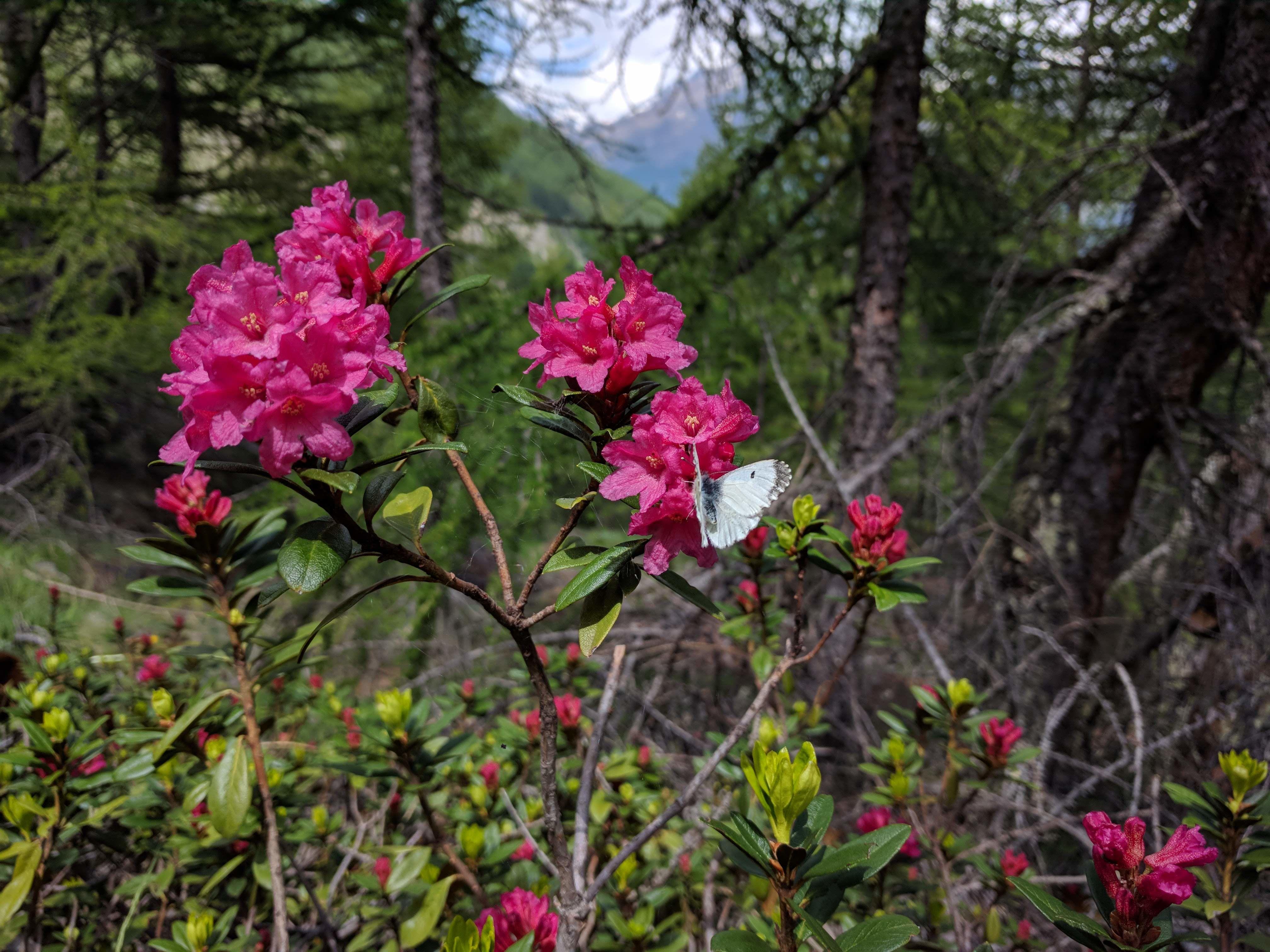 Alpen Rosen in Saas-Fee - Entdecken mit der Flower Walks App