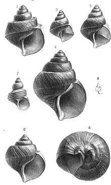 Neothauma snails