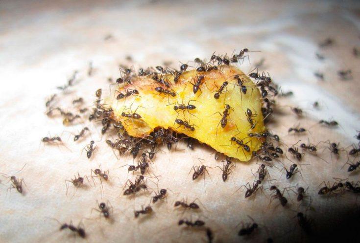 Чем опасны муравьи в доме