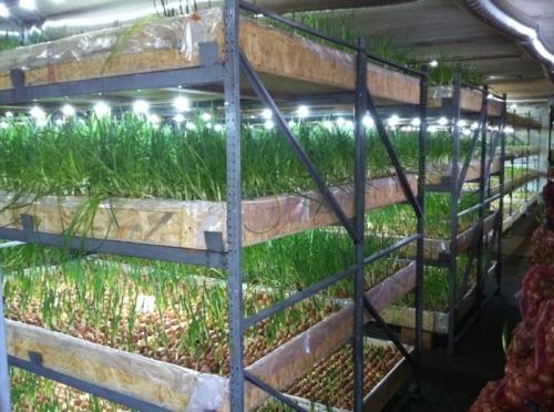 Выращивание зеленого лука на продажу зимой