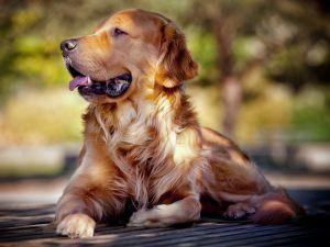 Породы больших добрых собак