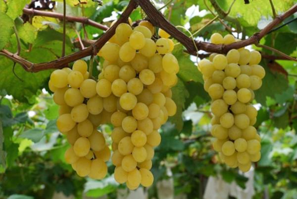 виноград зеленый кишмиш польза и вред