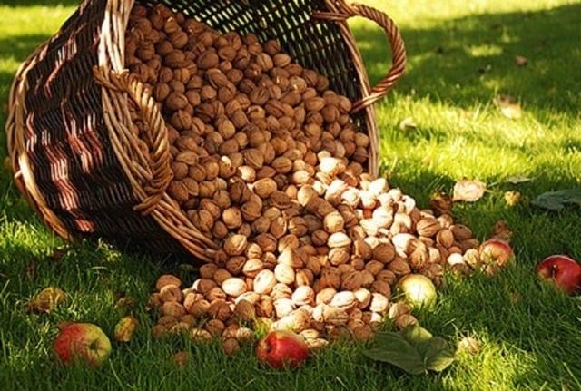 Орех грецкий новый урожай