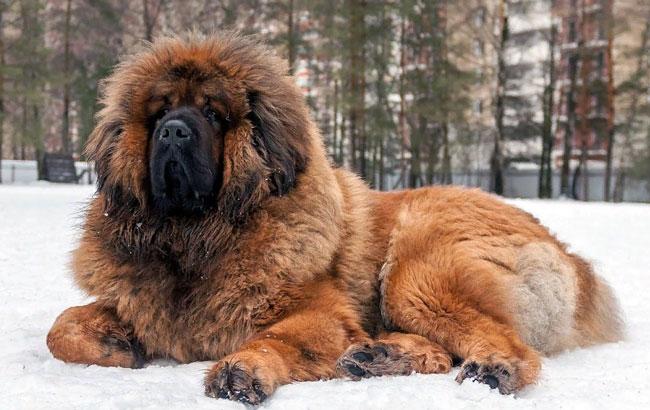 Самая большая собака в мире топ 10