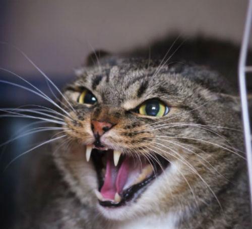 Агрессия у кошки без причины