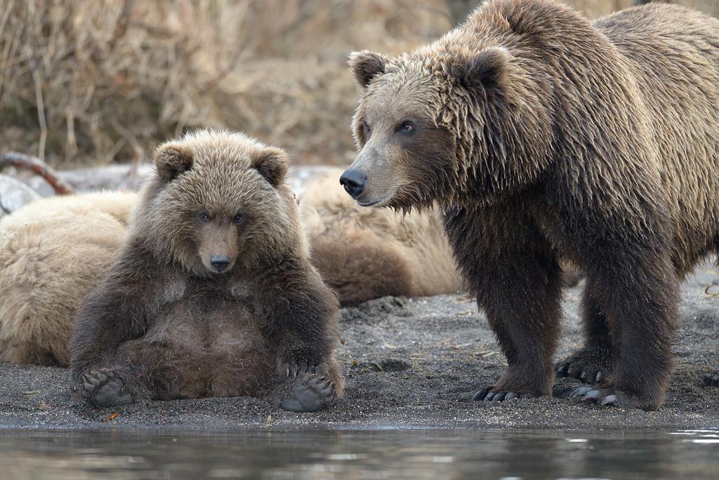 Медведи. Фото: Игорь Шпиленок