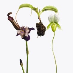 Inez & Vinoodh, 1 Pitcher Plant, 1 Purple Iris, 1 Lay Slipper Orch