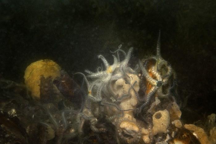 Elspeth Diederix, Brittle Star Still Life