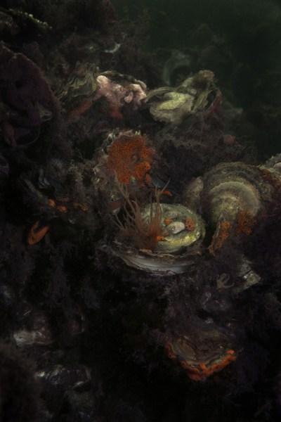 Elspeth Diederix, Still Life Shell