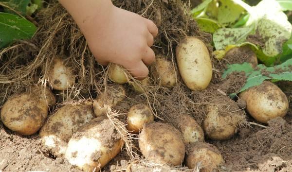 Отзывы о картофеле удача