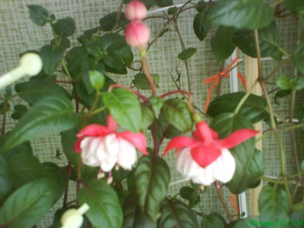 Удобрение для фуксии для обильного цветения