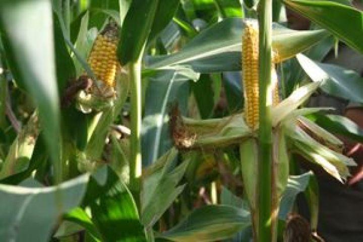 Спрос на фуражную кукурузу
