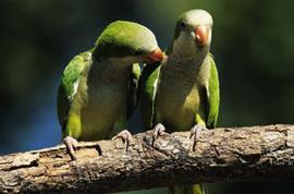 Чем отличаются попугай мальчик от девочки