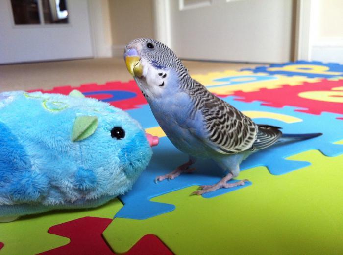 Чем отличается мальчик попугая от девочки