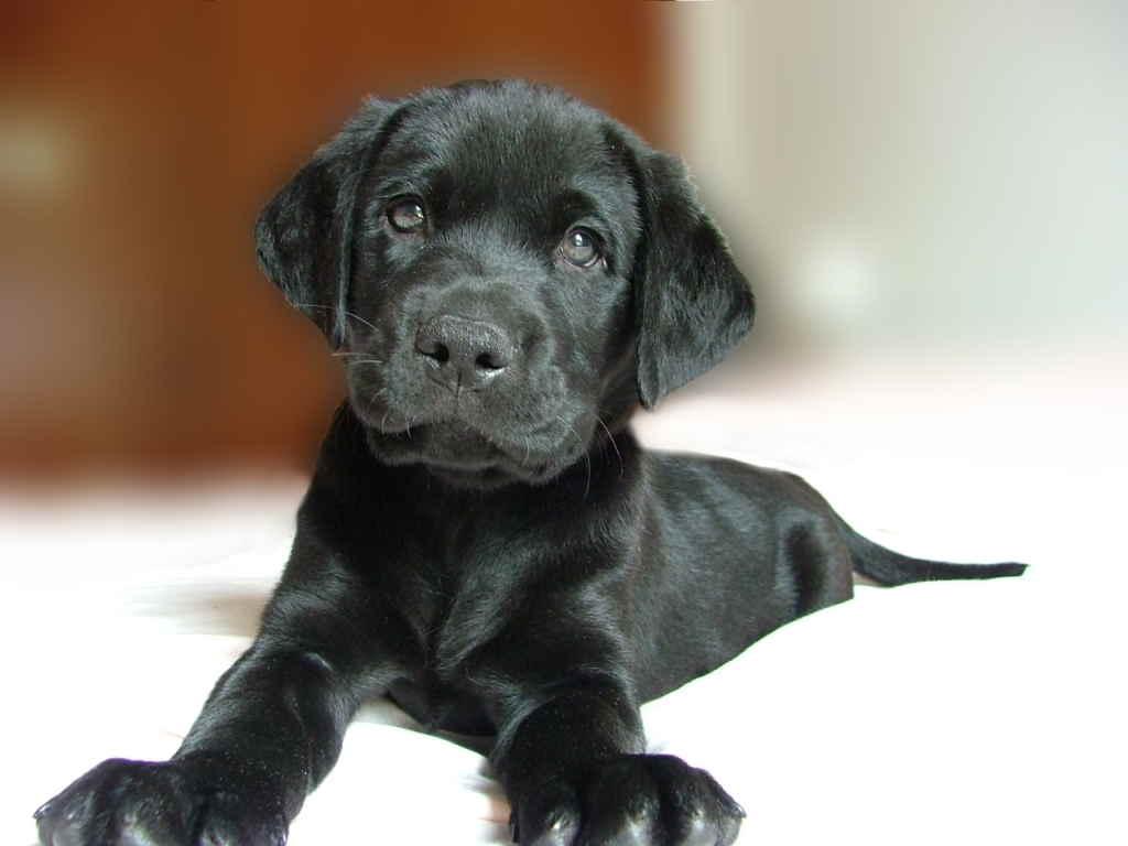 В каком возрасте делают прививки собакам