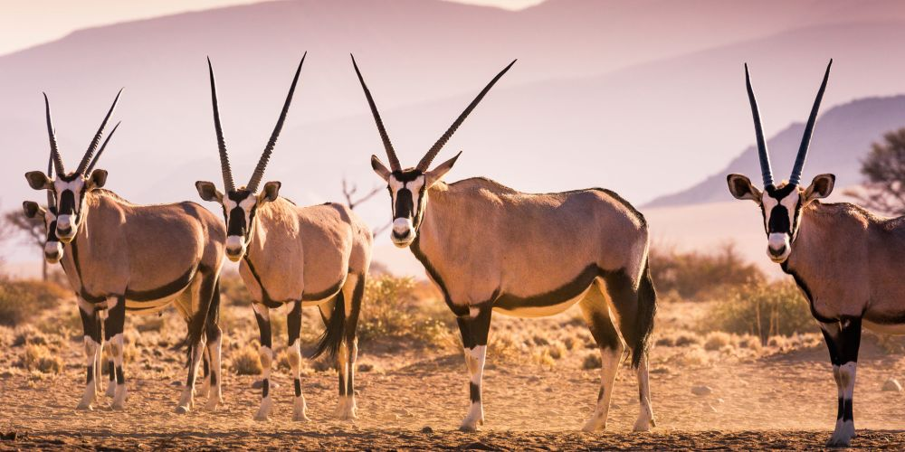 namibia_gemsbok_herd