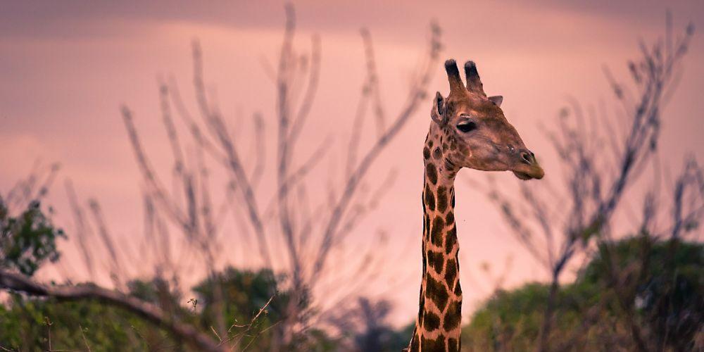 twilight_giraffe_botswana