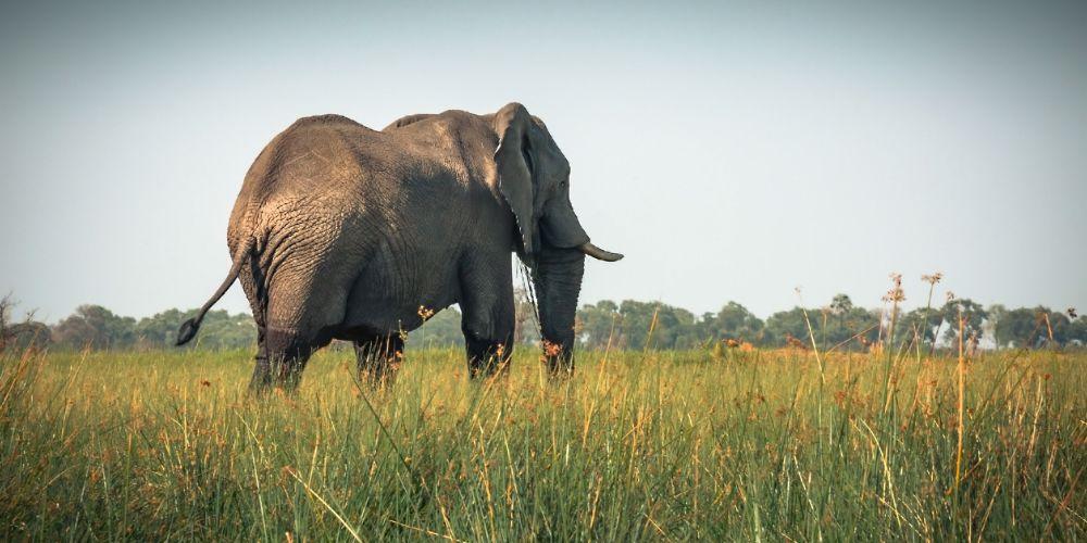 botswana_elephant