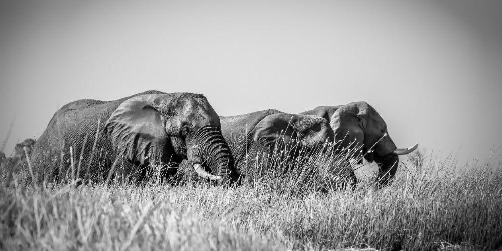 okavango_elephants