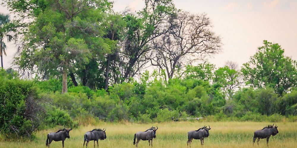 okavango_wildebeest